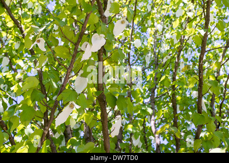 Davidia involucrata, dove tree or handkerchief tree blooming in spring - Stock Photo