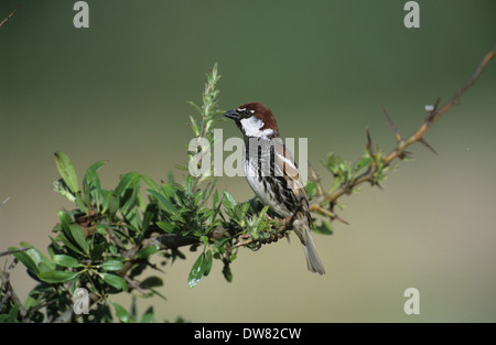 Spanish Sparrow (Passer hispaniolensis) adult male in breeding plumage Lesvos Greece - Stock Photo
