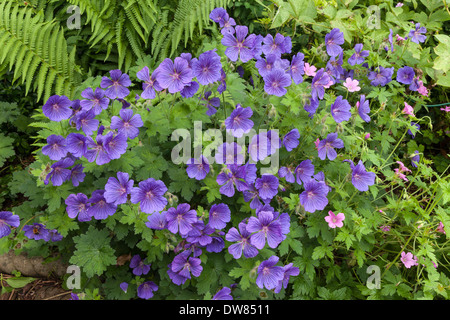 BLUE GERANIUM IN FLOWER BED IN DOMESTIC GARDEN WITH PINK GERANIUM AND ERN. GLOUCESTERSHIRE ENGLAND UK - Stock Photo