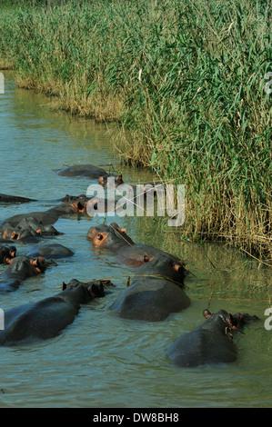 Saint Lucia, KwaZulu-Natal, South Africa, pod of Hippo, Hippopotamus amphibius, submerged in water next to reeds - Stock Photo