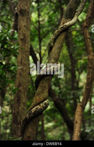 Oribi Gorge, KwaZulu-Natal, South Africa, parasitic vine strangling host tree in forest, parasite, climbing plant - Stock Photo