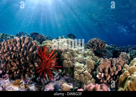 Healthy coral reef with a red slate pencil urchin, Heterocentrotus mamillatus, Molokini, Maui, Hawaii, USA