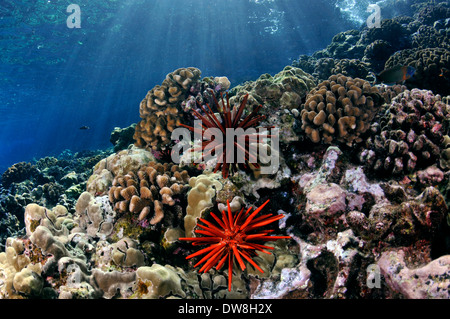 Healthy coral reef with a red slate pencil urchin, Heterocentrotus mamillatus, Molokini, Maui, Hawaii, USA - Stock Photo