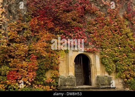 Virginia Creeper (Parthenocissus quinquefolia) introduced species leaves in autumn colour climbing gateway at medieval - Stock Photo