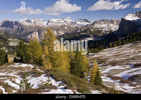 View of across European Larch (Larix decidua) forest towards mountain range with early snow looking north from Sella - Stock Photo