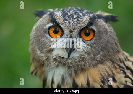 Close-up Eurasian eagle owl - Stock Photo