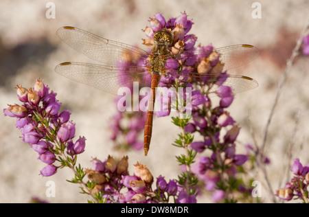 Vagrant Darter (Sympetrum vulgatum) adult male resting on bell heather flowers France August - Stock Photo