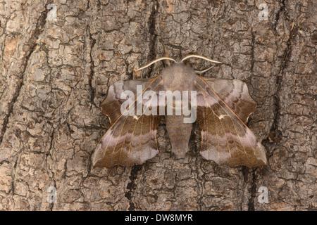 Poplar Hawkmoth (Laothoe populi) pink coloured adult resting on bark Oxfordshire England July - Stock Photo