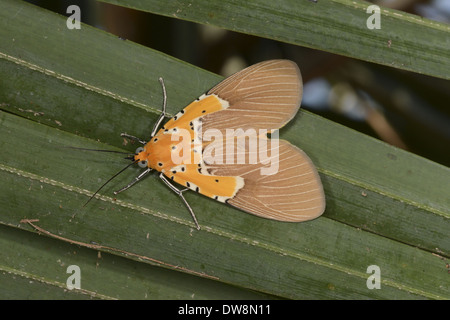 Specious Tiger Moth (Asota speciosa) adult resting on leaves Kafue N.P. Zambia September - Stock Photo