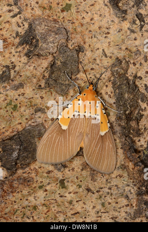 Specious Tiger Moth (Asota speciosa) adult resting on tree trunk Kafue N.P. Zambia September - Stock Photo