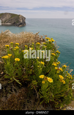 Golden Samphire (Inula crithmoides) flowering growing on clifftop habitat Lulworth Cove Dorset England July - Stock Photo