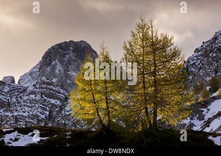 European Larch (Larix decidua) habit with needles in autumn colour backlit at dawn Passo di Valles Dolomites Italian - Stock Photo