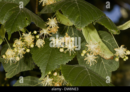 Large-leafed Lime (Tilia platyphyllos) close-up of flowers and leaves Central France June - Stock Photo