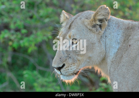 Lioness. Kruger National Park, South Africa is a prime location for game viewing. - Stock Photo