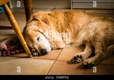 Golden retriever dog sleeping on kitchen floor in UK - Stock Photo