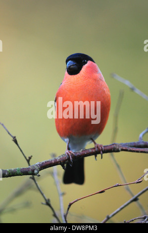 A male bullfinch on a twig UK - Stock Photo
