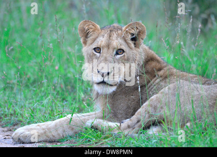 Kruger National Park, South Africa is a prime location for game viewing. Young male lion lying in green grass. Frontal - Stock Photo
