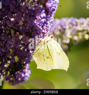 A Brimstone ( Gonepteryx rhamni ) butterfly on Buddleia in the uk - Stock Photo