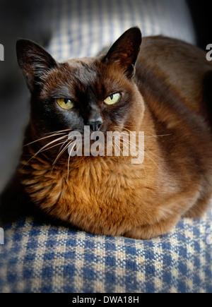 Elderly 19 year old Brown Burmese Cat in Ireland - Stock Photo