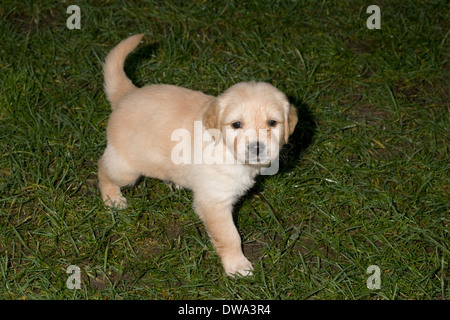 Dougie, Yorkbeach Golden Sea Boat, 5 week old golden retriever puppy on grass in back garden of breeder's home - Stock Photo