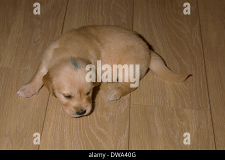 Dougie, Yorkbeach Golden Sea Boat, 4 week old male golden retriever on laminate floor - Stock Photo