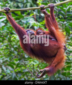 A Mother and Baby Orangutan ( Pongo pygmaeus ) Hanging on a Rope in Borneo, Malaysia - Stock Photo