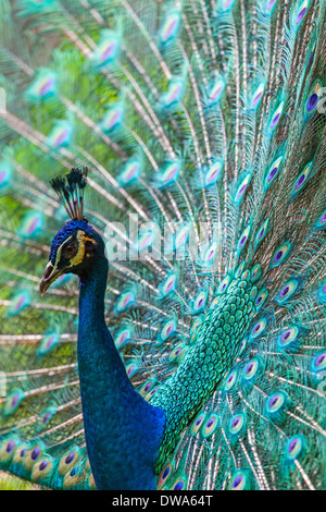 An Indian Blue Peafowl (Pavo cristatus) - Stock Photo