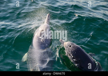 Sousa chinensis Chinese white dolphin, Pacific humpback dolphin or Indo-Pacific humpback dolphin - Stock Photo