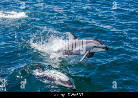 Pacific White Sided Dolphins jumping and swimming in the ocean.