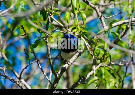 Variegated fairy-wren Malurus lamberti male - Stock Photo