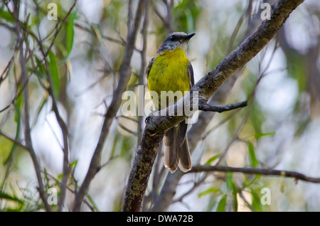 Eastern Yellow Robin Eopsaltria australis - Stock Photo
