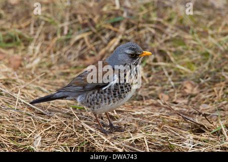 Fieldfare (Turdus pilaris) foraging on the ground - Stock Photo