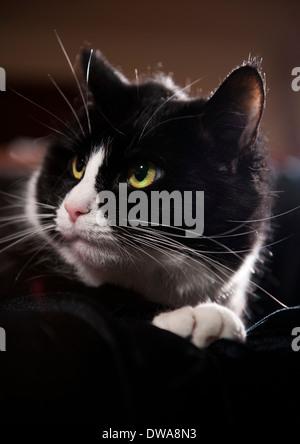 Black and white 'tuxedo' Cat - Stock Photo