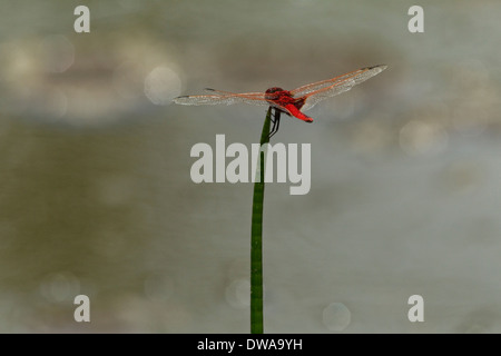 Male Scarlet Darter (Crocothemis erythraea) perched on a straw Kruger national park South Africa - Stock Photo