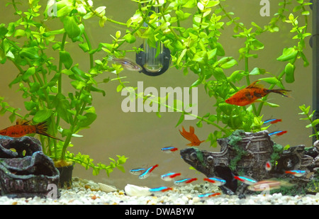 Decorative home aquarium with fishes and plants. - Stock Photo