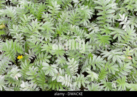 Silverweed - Stock Photo