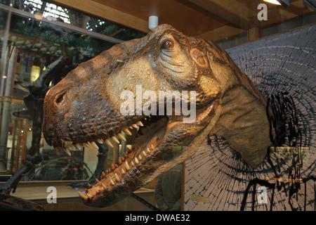 Eustreptospondylus Oxoniensis dinosaur at the Natural History museum in Oxford. - Stock Photo