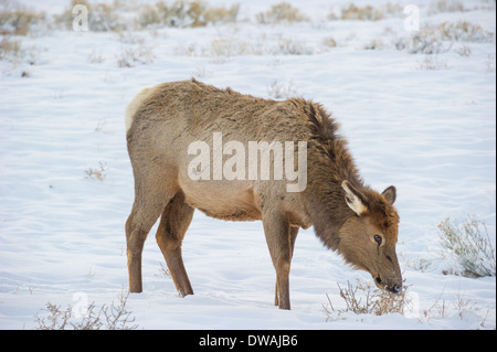 Elk (Cervus elaphus) on a snowy slope on the Columbia Blacktail Plateau.Wildlife of Yellowstone Park at Lamar Valley. - Stock Photo