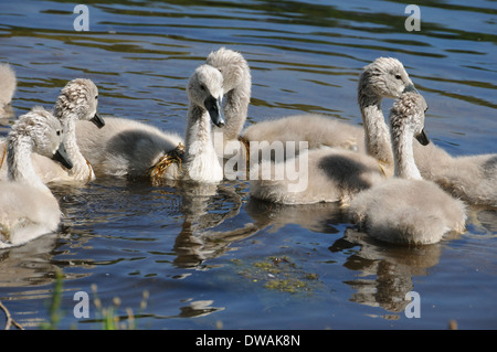 Cygnet Baby Swans Swimming Together on a Lake - Stock Photo