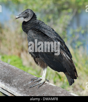 Black Vulture Perchind ,Close Up Shot - Stock Photo