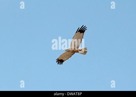 Marsh Harrier Circus aeruginosus - Male - Stock Photo