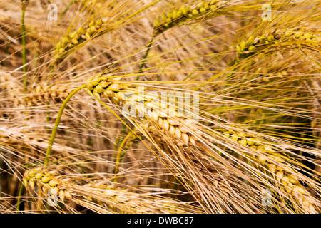 Germany, Rhineland-Palatinate, Barley (Hordeum vulgare), ears - Stock Photo