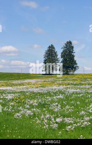 Germany Bavaria East Allgaeu Lengenwang view to flowering dandelions and cuckoo flowers (Cardamine pratensis) and - Stock Photo
