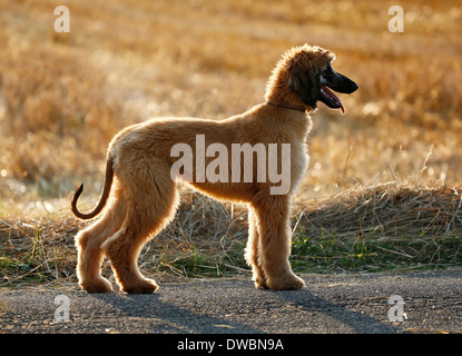 Afghan hound, puppy, standing in front of a stubble field - Stock Photo