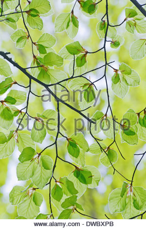 Branches and leaves of beech tree in spring - Stock Photo