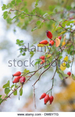 Ripe rosehips in autumn - Stock Photo