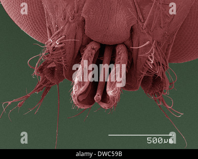 Coloured SEM of louse fly (Hippoboscidae) mouthparts - Stock Photo