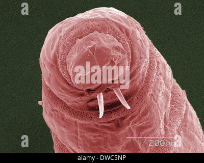 Coloured SEM of fly maggot mouthparts - Stock Photo