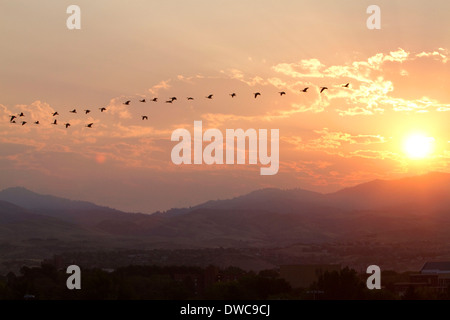 A flock of geese fly at sunrise in Boise, Idaho, USA. - Stock Photo