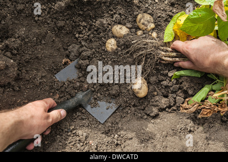 Mature man digging up potatoes from garden